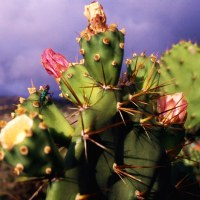 photo of cacti, just some of st.helenas diverse flora